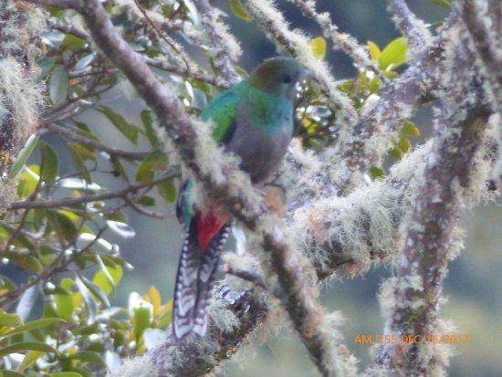 Savegre Hotel, Natural Reserve & Spa: Resplendent Quetzal (F)