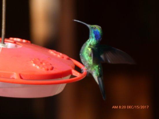 Savegre Hotel, Natural Reserve & Spa: Hummingbird on the ground's feeder