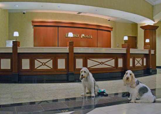 Drury Plaza Hotel St. Louis Chesterfield: Checking in with my dogs in the hotel lobby