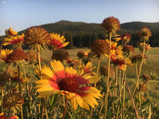 Conifer, CO: Blanket flower in the meadow at Meyer Ranch park