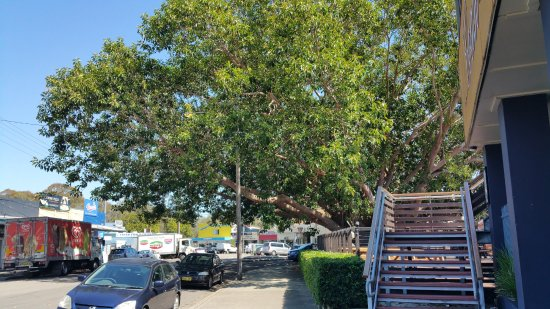 The huge tree which covers the whole intersection in the heart of Budgewoi.