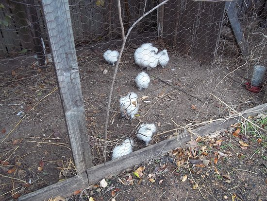 Pioneer Museum Complex: Fluffy white chickens