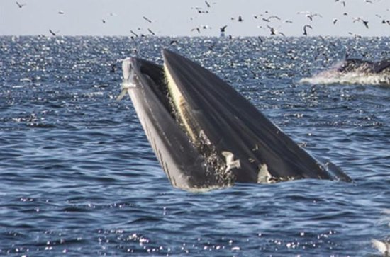 Whale watching in Hermanus including...