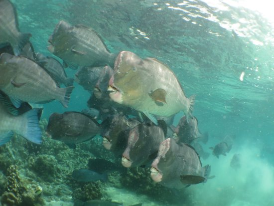 Seaventures Dive Rig: School of Bumpheads, just off Barracuda Point.