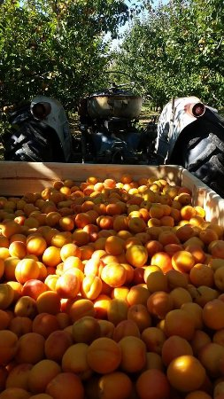 Coal Creek Gardens: Our yummy apricots are available fresh from the tree!