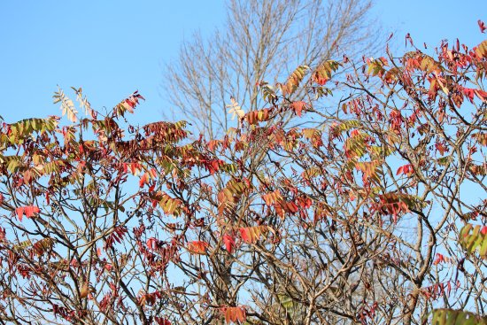 Balsam Lake Provincial Park: Sumac branches on the Lookout Trail in autumn