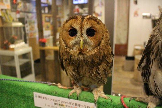 Owl Cafe & Bar Owl Village Kichijoji: お店の環境に慣れる為、頑張っています!