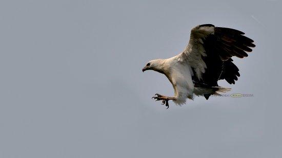 Dhilip De Alwis: WHITE BELLIED SEA EAGLE