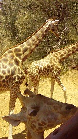 Giraffe Centre Foto