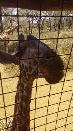 Giraffe Centre Photo