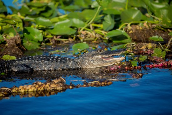 Down South Airboat Tours: Alligator soaking up the sunshine