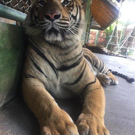 Tiger Kingdom - Chiang Mai Photo