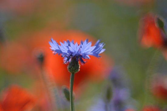 Piana di Castelluccio di Norcia : fioritura