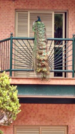 Oscar Inn Eco Resort: Esta é a sacada do quarto. As vezes o pavão nos dá o privilégio de uma visita!