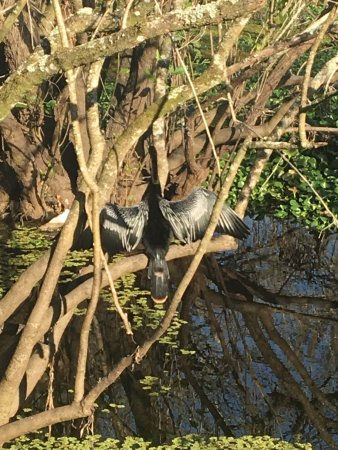 Lettuce Lake Regional Park: Beautiful anhinga
