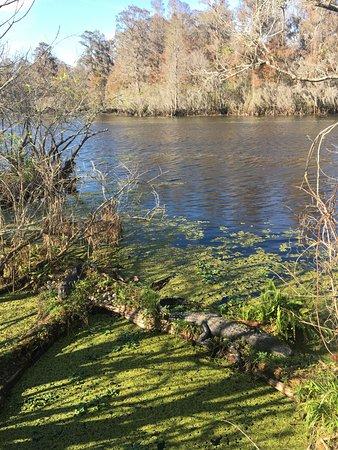 Lettuce Lake Regional Park: The same two alligators sleeping on logs