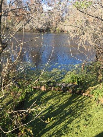 Lettuce Lake Regional Park: Note the alligator