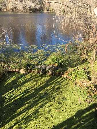 Lettuce Lake Regional Park: Can you see the alligator
