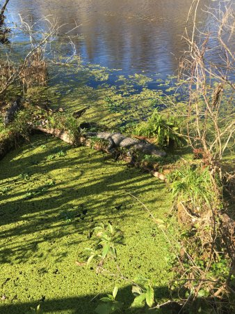 Lettuce Lake Regional Park: Hard to tell, but there's an alligator there.