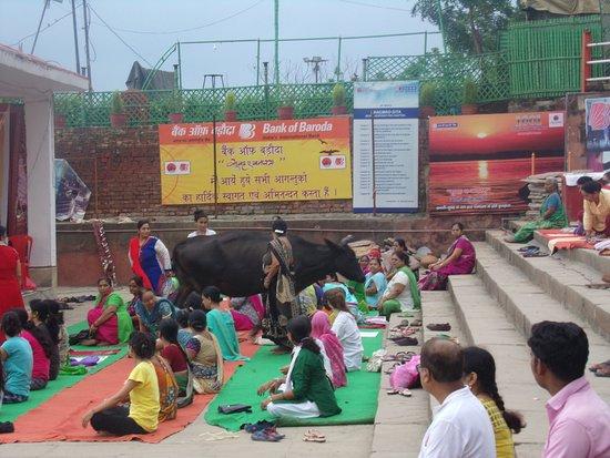 """Baba Guest House: Cuando estás haciendo yoga en un """"gath"""", tranquilo, y de pronto una vaca quiere sumarse..."""