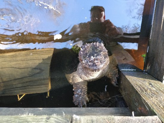 Gatorland General Admission Ticket: Turtle trying to attack me on the swamp walk...