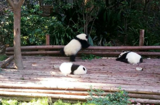 One-day Private Panda Tour with  Chengdu City Visit Plus Opera Show at Night