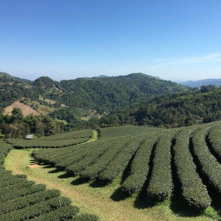 101 Tea Plantation: Photo By: Usa Somnuk