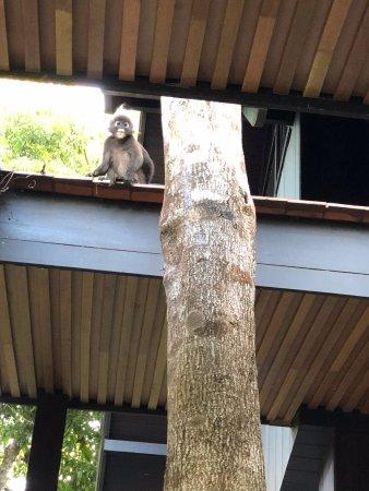 The Ritz-Carlton, Langkawi: Dusky leaf monkey
