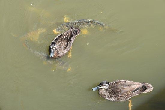 Cobba Paddleboat: Ducks & large Carp at the landing