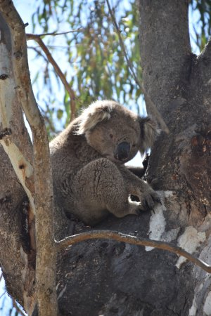 Cobba Paddleboat: Bored koala watching the boat