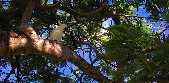 ‪‪Bucasia‬, أستراليا: Cockatoo in the tree above our camper‬