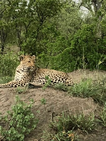 Simbambili Game Lodge: We were fortunate to see both this female leopard and a male leopard