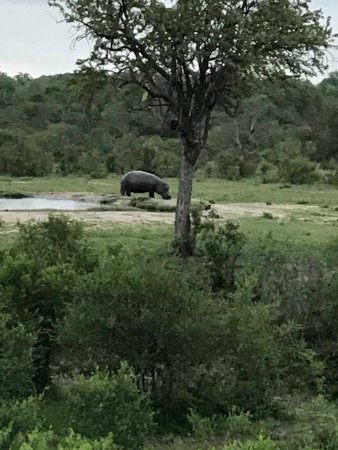 Simbambili Game Lodge: This is a hippo at the watering hole in front of the lodge eating area.