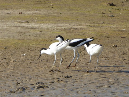 Westleton, UK: Avocets