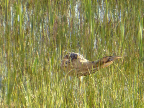 Westleton, UK: Bittern feeding