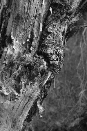 Dunkeld, Australie : Tree bark