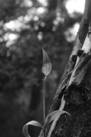 Dunkeld, Australie : Leaves