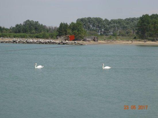 Ristorante Michelangelo: По протоке рядом с рестораном приплывают к рыбакам стаи лебедей