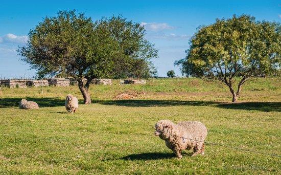 Bodega Boutique El Legado: ovelhas