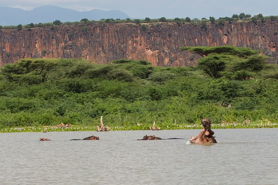 Baringo District, Kenya: Les hippopotames