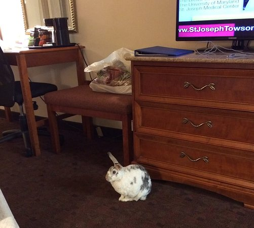 1863 Inn of Gettysburg: My pet rabbit, Narvik; enjoying our beautiful room.....