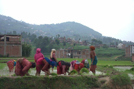 Royal Mountain Travel: Panauti Community Homestay - Helping for a day in rice fields - 2014