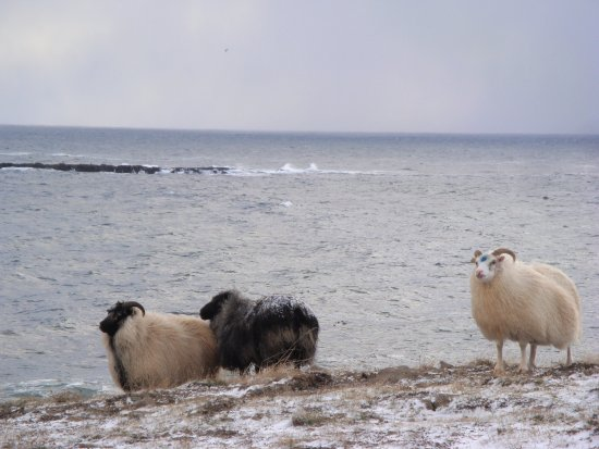 Kjorvogur, Islandia: I think these are rams. One of them had a blue sigil on its forehead.