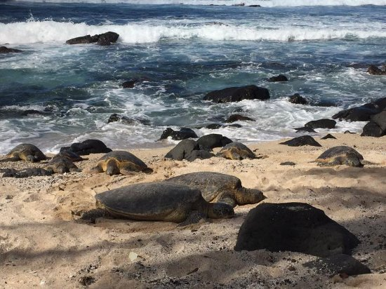 Honu Near Turtle Beach On The Oahu S North