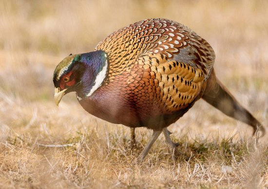 Willows, CA: Ring-necked pheasant