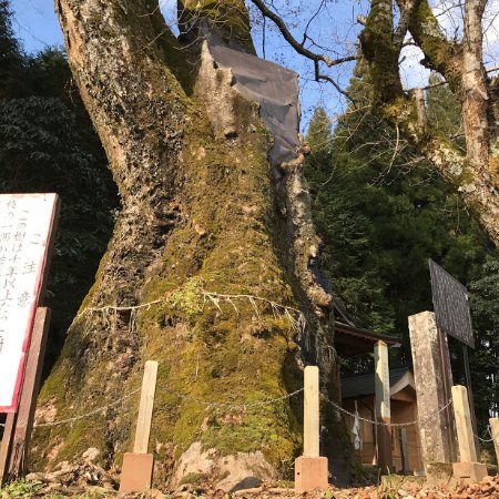 Minamioguni-machi, Ιαπωνία: 幹まわり13m 根まわり17m