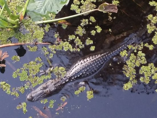 Lettuce Lake Regional Park: There are always gators around the tower
