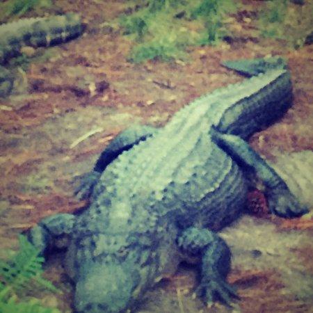 Okefenokee Swamp Park : photo2.jpg