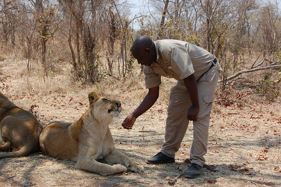 Lion Encounter : Yes, Lila the lion is smiling at the guide :)