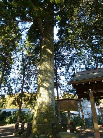 永塚の大杉